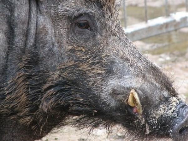 Положителна проба за Африканска чума по свинете (АЧС) е установена
