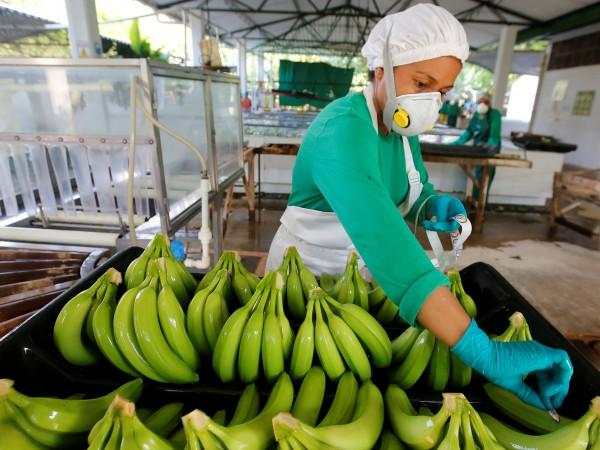 Внесени от Азия гъбички съсипват банановите плантации в Kолумбия. Засега