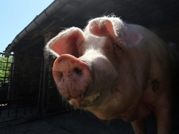 Африканска чума по свинете е установена в още един свинекомплекс