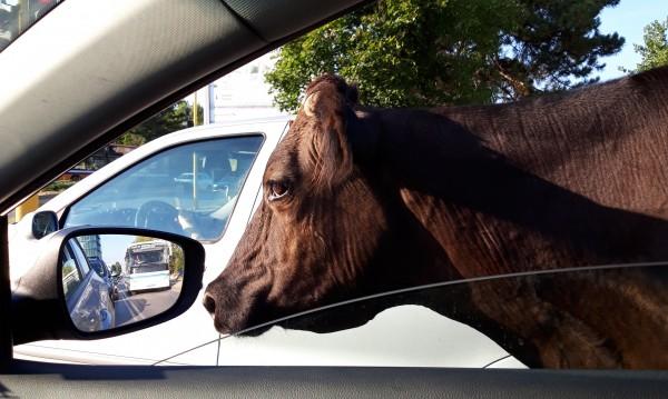 Крави, коне... Не в детските книжки и на село, а по улиците на София
