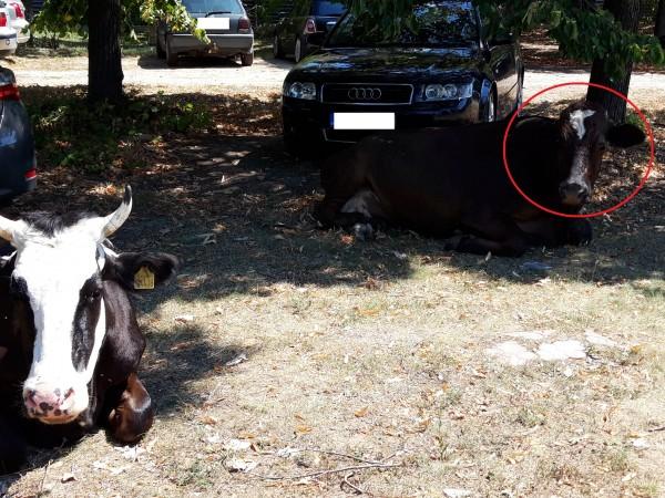 Снимка: Крави, коне... Не в детските книжки и на село, а по улиците на София