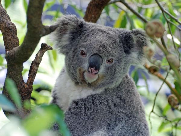 Как да бъдат спасени гладни коали, които са застрашени от