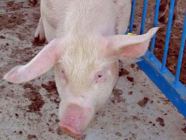 Огнищата с африканска чума по дивите свине в област Русе
