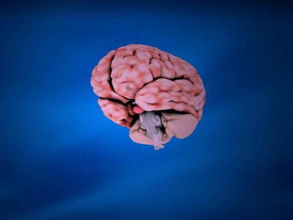 Снимка: Мини мозъци, създадени ин витро, оживяха!
