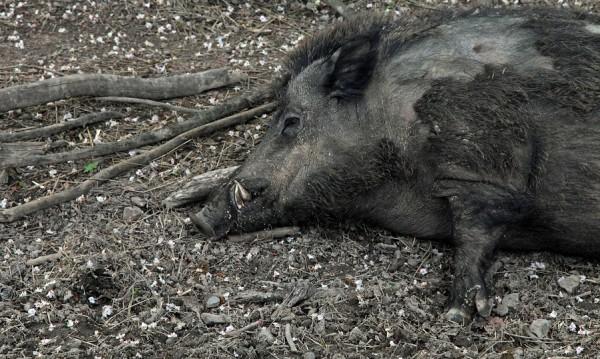 Откриха мъртъв глиган в Смолянско, с чума е