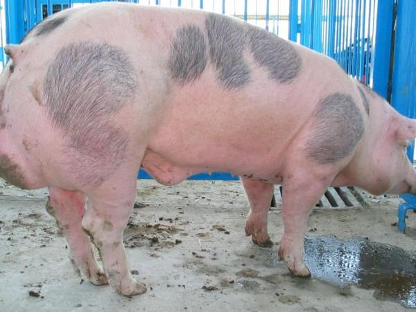 Общо 35 са огнищата с африканска чума по свинете в