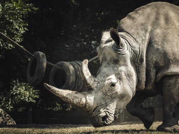 Учени са създали два ембриона на северен бял носорог като