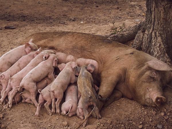 Южна Корея унищожава хиляди прасета, след като бе потвърдена болестта