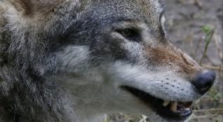 Животновъди са притеснени заради увеличената популация от вълци в Сакар