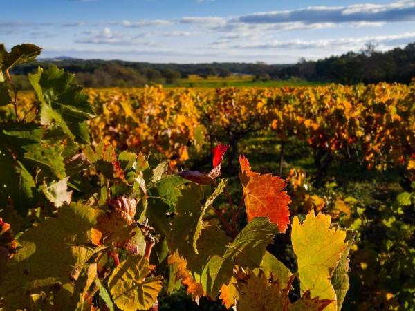 Вместо да плащат на гроздоберачите, наети за четирима производители в
