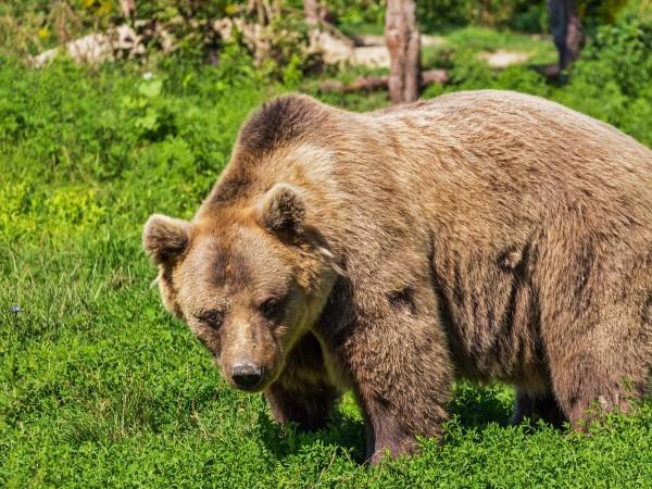 Кафяви мечки са слезли до три села във Великотърновско. Не