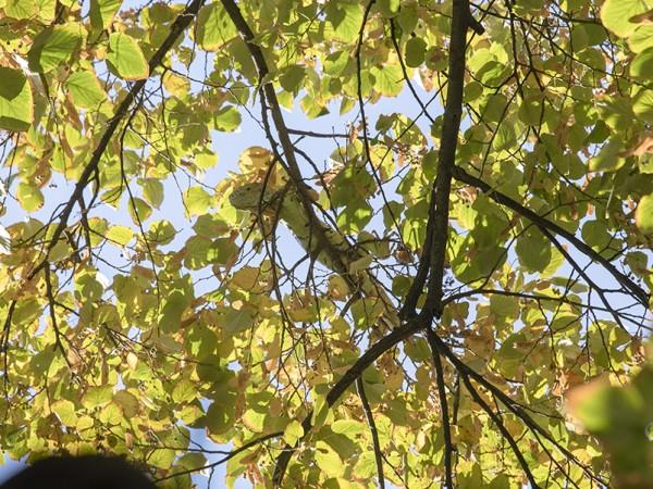 Зелена игуана е свалена от липа в Стара Загора, съобщиха