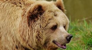 Озверяла от глад мечка вилнее из дворове на с. Пушево