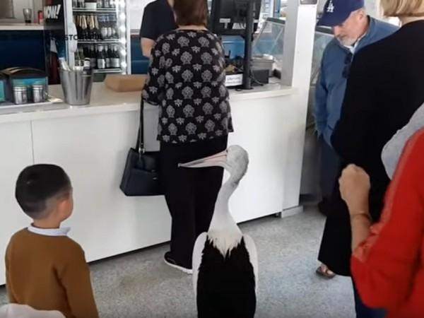 Учуден клиент засне как достолепен пеликан влиза в ресторант на