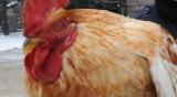 Япония вече ще внася наше птиче месо