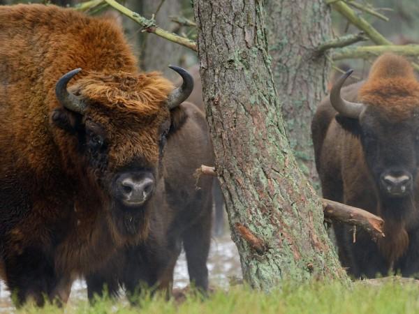 Европейски бизони живеят на свобода в Родопите за първи път