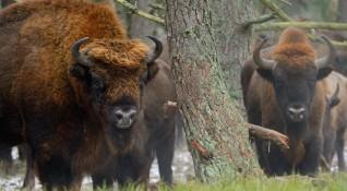 Историческото завръщане на бизоните в Родопите