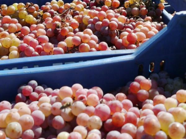 Стопаните от Търговищко са произвели 5030 тона грозде от винени