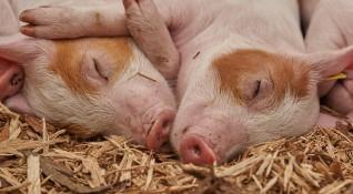От БАБХ притеснени: Укриват се открити умрели прасета