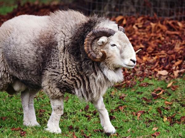 69-годишен пастир е бил нападнат и ранен от овенпо време