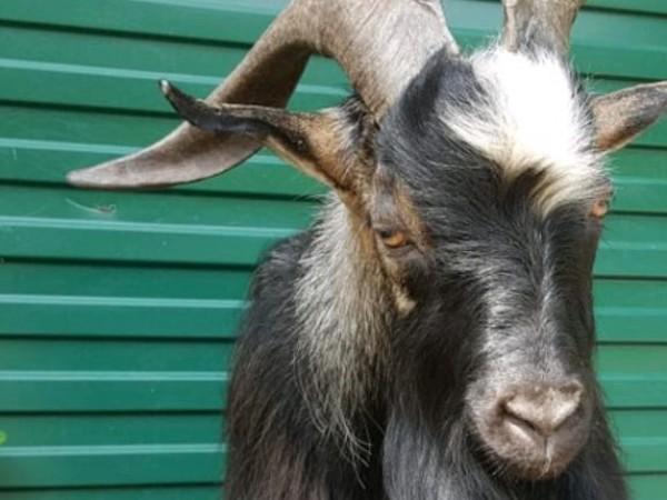 Спомина се най-известният козел в Русия, Тимур, който от плячка