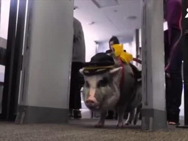 Прасе помага на пътници на летище в Сан Франциско да