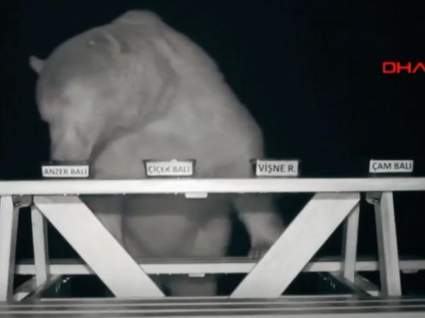 Пчелар от Турция превърна група мечки в дегустатори и рекламни