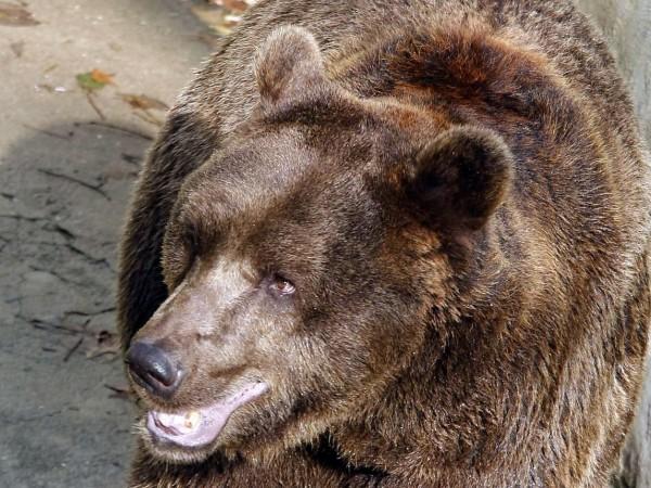 След злощастна среща с мечка в Стара планина 47-годишен ловец