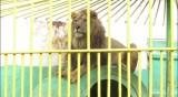 Разследват зоокъта в Разград заради лъва Любо