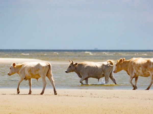 Три крави, отнесени в морето от надигналите се води на