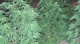 Полицията откри марихуана за 300 000 лв. в Айтоско