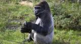 Два пъти по-високи от човека маймуни са живели на Земята