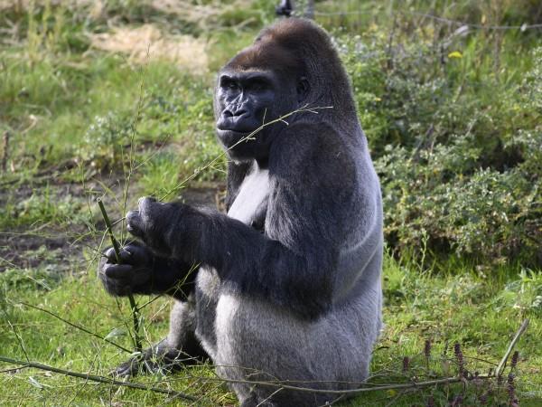 Фосилизирани зъби от гигантска маймуна, чийто ръст е бил 2