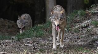 Екшън в планината: Туристи срещнаха вълци, паднаха в пропаст...