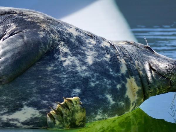 Тюлен, плуващ жизнерадостно в река Елба, бе взет попогрешка за