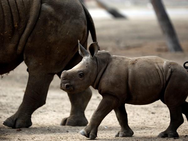 Бебето е от подвид южен бял носорог и е заченато