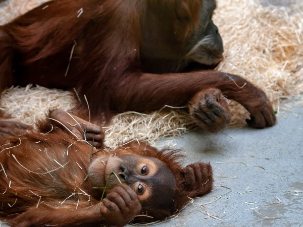 Новороденото бебе орангутан е сред новите жители на британския зоопарк