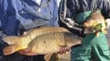 Рибари ще спасяват живота на шарани с любопитна инициатива