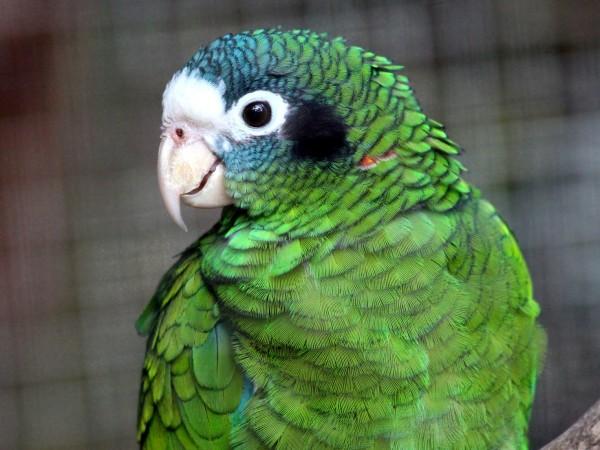 Папагал от редкия вид зелена амазона е бил откраднат от