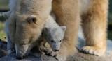 56 бели мечки окупираха селище в Чукотка
