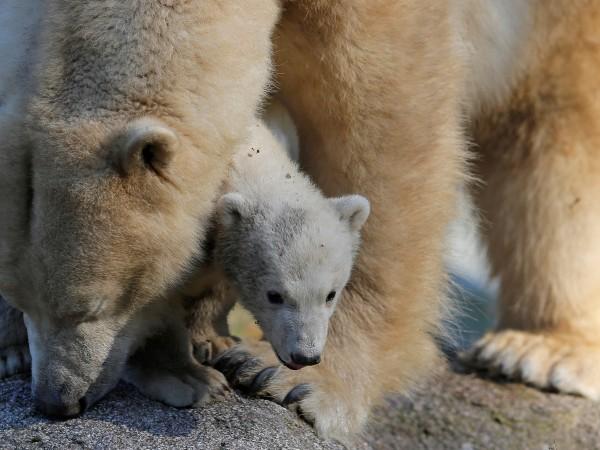 Петдесет и шест бели мечки се събраха край селище в