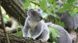 В Австралия заделят терени за нов хабитат за коали