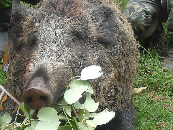 Край село Комарево в община Берковица са открити диви прасета,