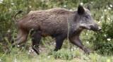 В Разградско обявиха две нови огнища на чума по свинете