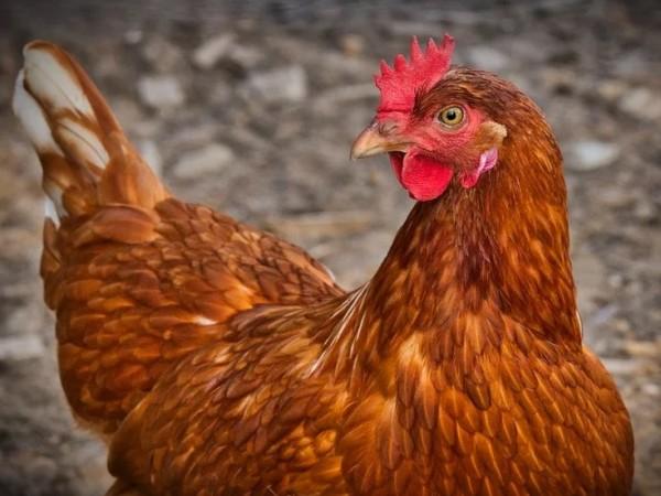 Британското правителство съобщи снощи за потвърден птичи грип в птицеферма