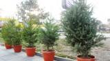 Горско предприятие готви над 26 000 елхи за Коледа