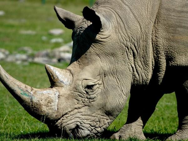 Италианска лаборатория създаде третия ембрион от северен бял носорог (Ceratotherium