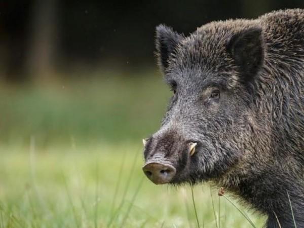 В три общини на Старозагорска област са открити диви свине,