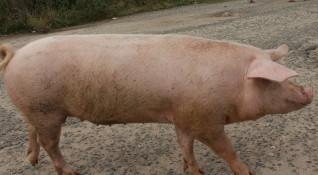 Нова индустриална свинеферма в Пазарджишко, хората на бунт