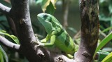 Студ във Флорида: Вкочанени игуани падат от дърветата